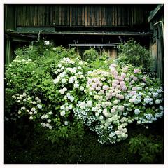 紫陽花の咲く家