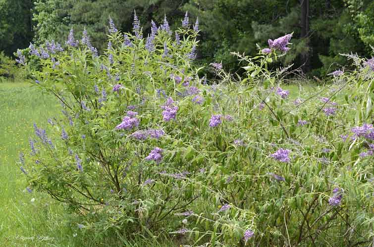 Butterfly bush and shoal creek chaste tree