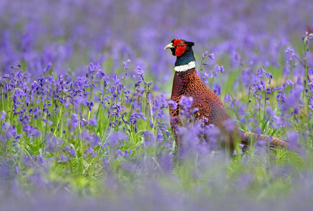 Pheasant & Bluebells