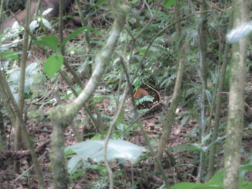 La Réserve de Monteverde: un agouti