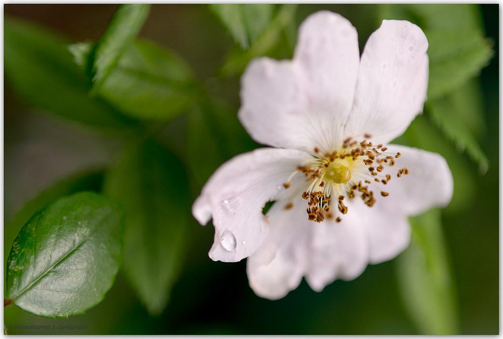 Rose am Zaun