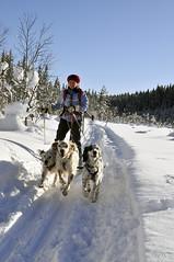 vehicle(0.0), land vehicle(0.0), sled dog racing(0.0), dog(1.0), winter(1.0), snow(1.0), pet(1.0), mushing(1.0), dog sled(1.0), sled dog(1.0),