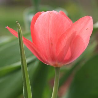 Pink Sunlit Tulip