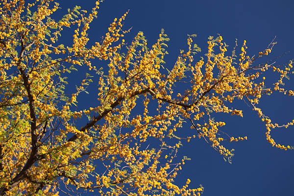 Mesquite in Bloom