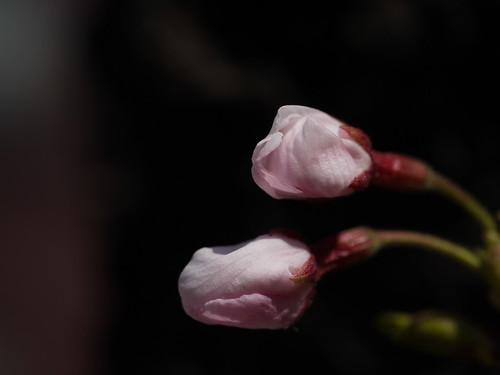 Sakura #2