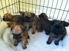 dog breed, animal, dog, schnoodle, pet, lhasa apso, morkie, border terrier, carnivoran, terrier,