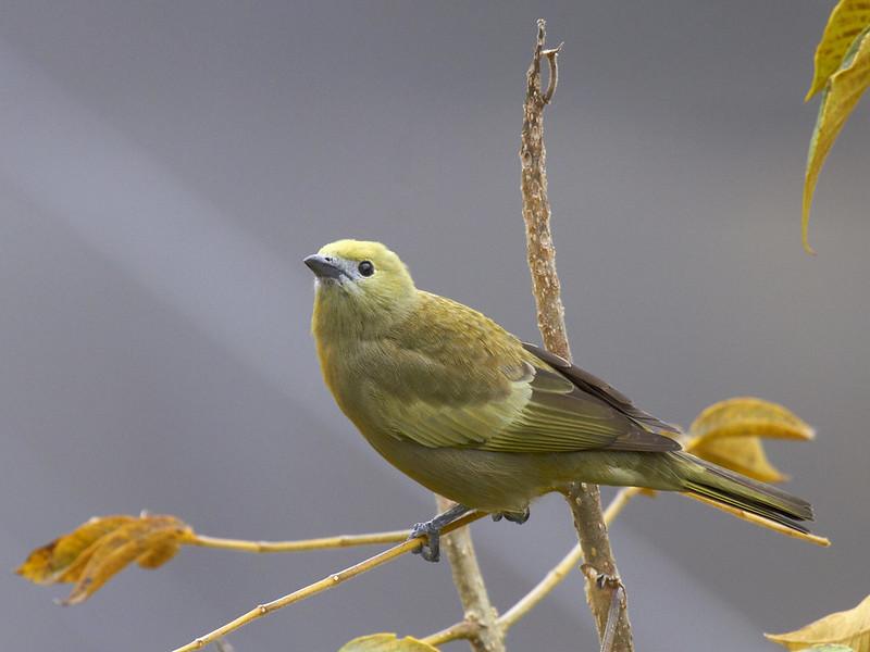 Imagen de una de las aves del Quindio: Azulejo Palmero (Thraupis palmarum)