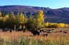 field_yaks