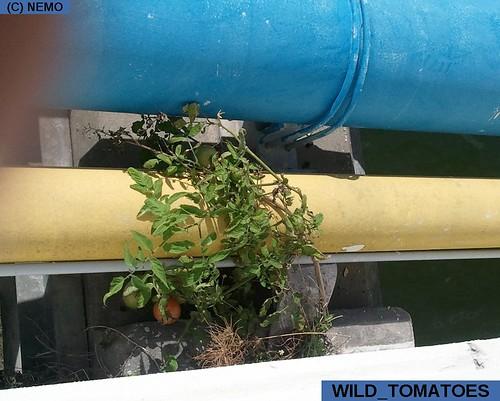 wild_tomatoes