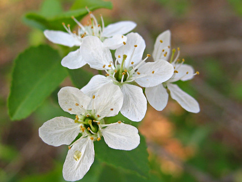 serviceberry flower?