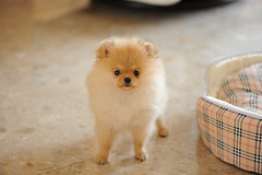 [フリー画像素材] 動物 1, 犬・イヌ, 子犬・小犬, ポメラニアン ID:201204272200