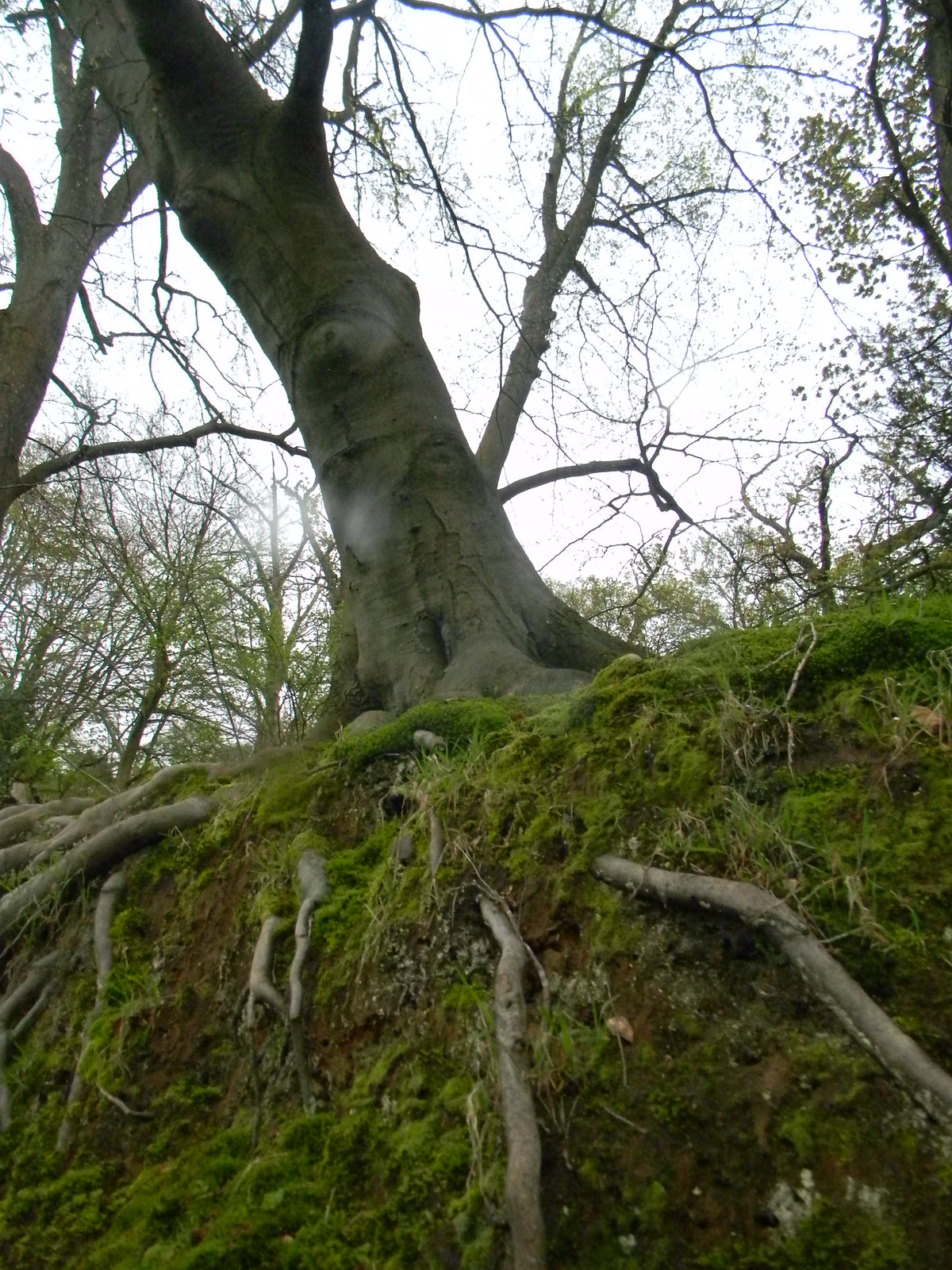 Tree on a mossy bank Guildford to Westhumble