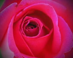 Rose (explored)