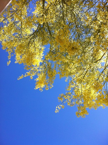 Blue sky + yellow blossoms