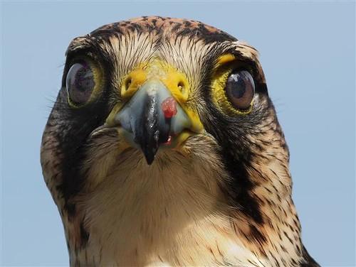 Hawk stare