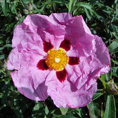 Pink Light in a Poseidonian Deluge. Cistus purpureus, Purple Rock Rose, Marble Arch, London, England, United Kingdom