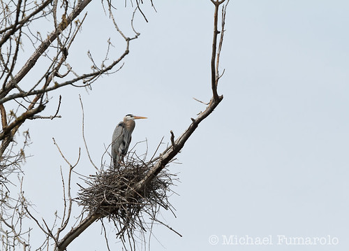 Danada Great Blue Heron Rookery - 04