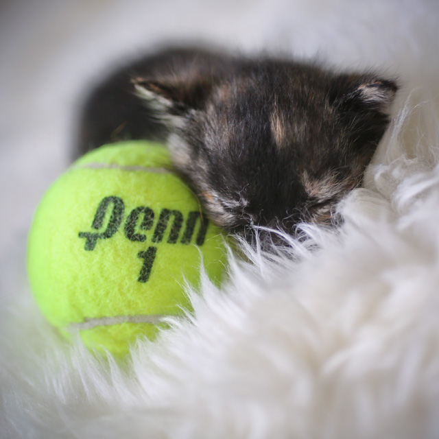 2 week old tortoiseshell kitten