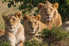 Lions Family Portrait