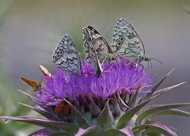 White Eastern Marbled White ...