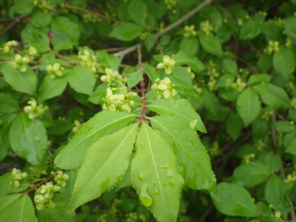 Winged Euonymus Invasive Exotic Plants Of North Carolina
