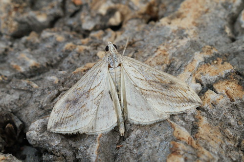Garden Pebble (Evergestis forficalis)