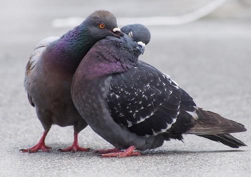 無料写真素材, 動物 , 鳥類, 鳩・ハト, 動物  カップル, キス・くちづけ