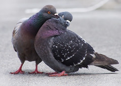 [Free Images] Animals 2, Birds, Dove / Pigeon, Animals - Couple, Kiss ID:201205301000