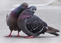 [Free Images] Animals 2, Birds, Dove / Pigeon, Animals - Couple, Kiss ID:201205301000