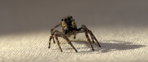 Jumping Spider on our bed  <img src=/Images/Icons/Smileys/1.gif border=0 align=absmiddle>