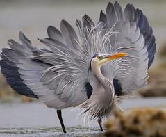 [フリー画像素材] 動物 2, 鳥類, サギ, アオサギ ID:201205310400