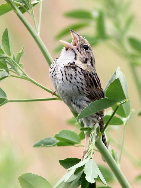 Henslow's Sparrow (Ammodramus_ henslowii) 5-20120529