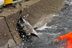 La mattanza dei tonni