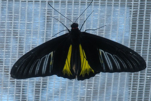 black and yellow butterfly on a skylight, seen from below.