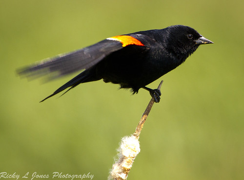 Blackbird Ready for Flight by Ricky L. Jones Photography