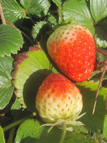 Pair of Strawberries