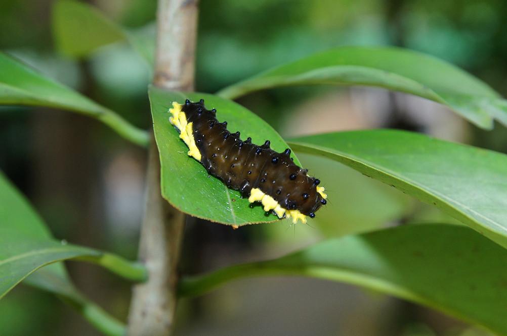 無尾鳳斑蛾
