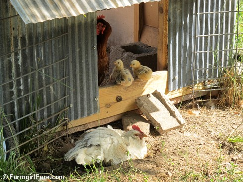 (7) Mama hens and baby chicks - FarmgirlFare.com