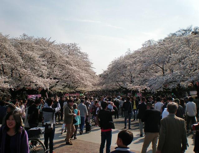 Sakura Cherry Blossom at Ueno Park
