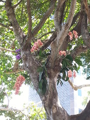 orchids in a tree on Lincoln Road, Miami Beach, Florida