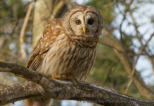 Barred Owl 4-14 4