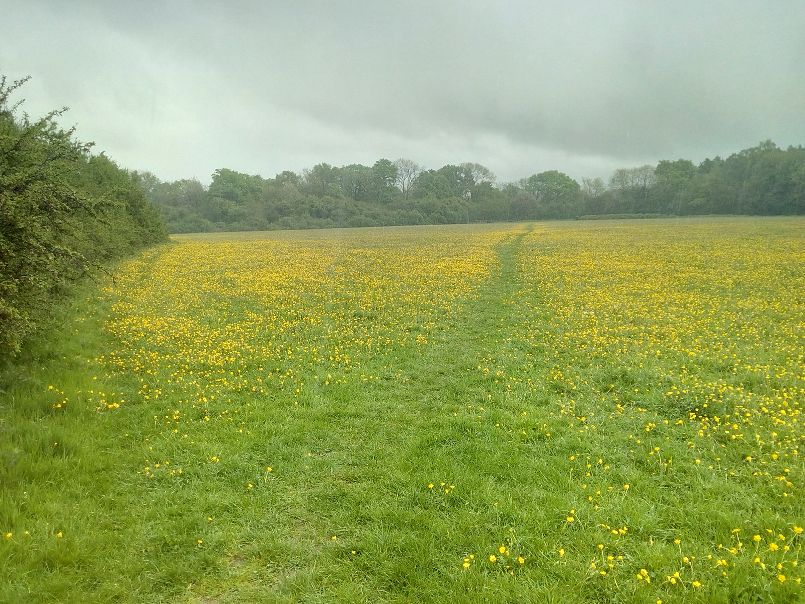 Near Farthing Downs Buttercups prevail, rain like stair rods