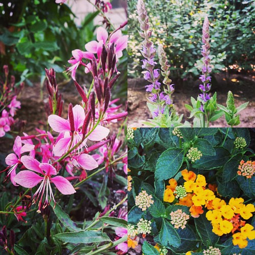 My drought-tolerant mother's day flowers: gaura, salvia, and lantana