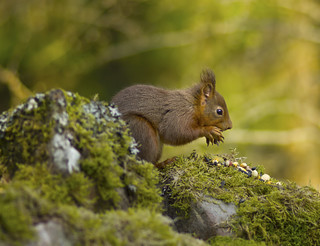 Macro Red Squirrel