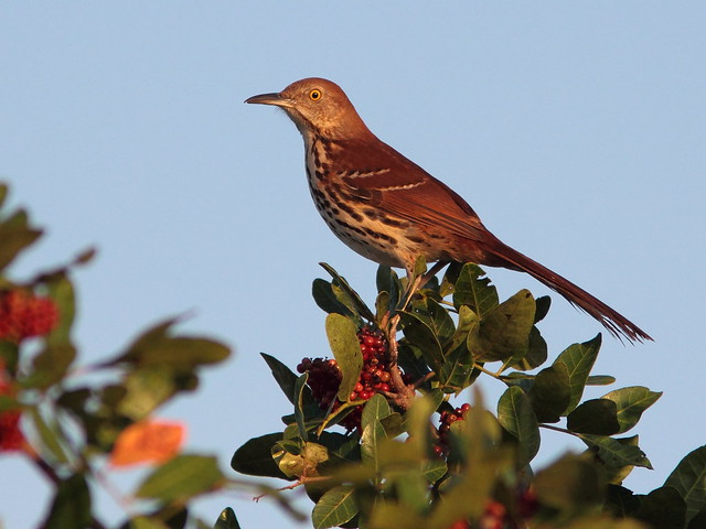 Brown Thrasher close 20120402