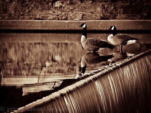 Falling Geese