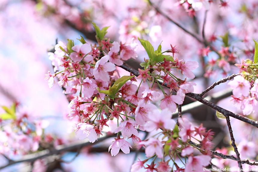 Sakura Shinjuku Gyoen 2012