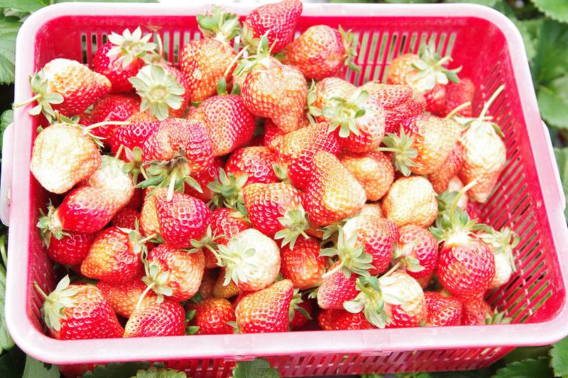 採草莓 最後一週