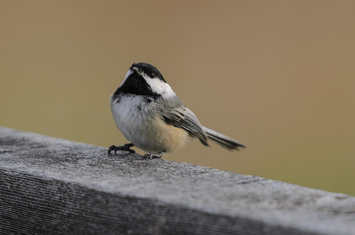 Chickadee Looking Up-5563.jpg