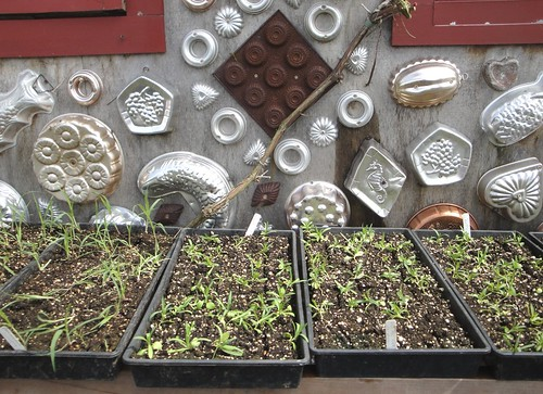 Seedlings with Jello Molds